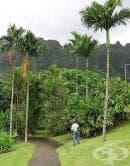Арека катеху, Арекова палма, Бетелова палма, Бетелов орех