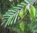 Сапаново дърво, Самфен