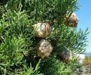 Кипарис, Обикновен кипарис, Средиземноморски кипарис
