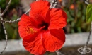 Китайска роза, Хибискус