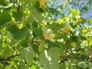 Лирово дърво, Дърво лале