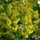 Жълт салкъм, Златен дъжд, Жълта акация