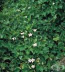Бръшлянова тиква, Кокциния