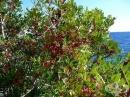 Мастиково дърво
