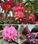 Рододендрон, Азалия, Розово дърво, Азалея