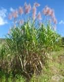 Захарна тръстика