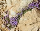 Скална мащерка, Алпийски ацинос