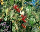 Кучешко червено грозде, Дяволско грозде, Отровачка, Разваленка, Разгул