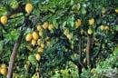 Отглеждане на лимон