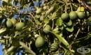 Отглеждане на авокадо