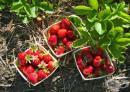 Ягодите стимулират работата на черния дроб и бъбреците