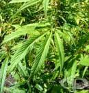 Откриването на противораковите свойства на марихуаната е повратна точка в лечението на онкологични заболявания