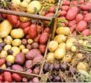 Любопитно за картофите