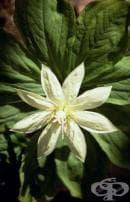 Учени откриха растението с най-дълго ДНК