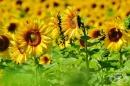 Слънчогледово семе - полезни и вредни свойства