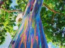 Дървото с цветовете на дъгата или красотата на дъгоцветните евкалиптови дървета