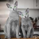 Руски сини котки с хипнотизиращи зелени очи