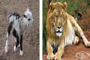 18 хибридни животни, които изглеждат необичайно красиво