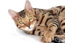 19 невероятни породи котки, струващи цяло състояние