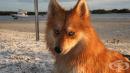 Това куче е кръстоска между померан и хъски и изглежда като магична лисица