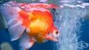 Учени: Златните рибки помнят събития случили се преди 5 месеца