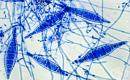 Микроспора