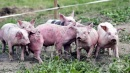 Земеделското министерство започна масирана кампания, за да не допусне разпространението на африканската чума по свинете