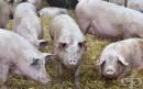 Институциите действат активно, за да ограничат африканската чума по свинете