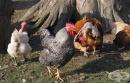 Домашни кокошки, заразени с птичи грип, са открити в Бургаско