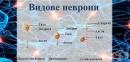Видове неврони