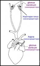 Химиорецептори