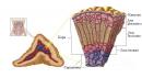 Функция и хормони на надбъбречната сърцевина