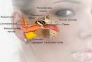 Функционална морфология на ухото