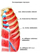 Експираторни мускули