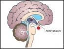 Хипоталамична сърдечно-съдова регулация