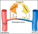 Механизъм за реализиране на капилярната пропускливост