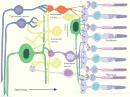 Организация на нервната мрежа в ретината