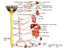 Парасимпатиков дял на вегетативната нервна система