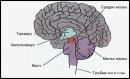 Супрамедуларна регулация на сърдечно-съдовата система