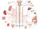 Влияние на ВНС върху дейността на различни органи и системи
