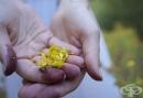 Спрете цигарите с жълт кантарион