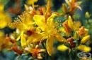 Облекчете кожни и ставни възпаления с масло от жълт кантарион