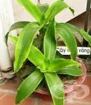 Излекувайте панкреатита със стайното растение ароматна кализия