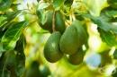 Запознайте се с 5 ползи на листата от авокадо