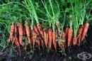 Научете тайните за отглеждане на богата реколта от моркови