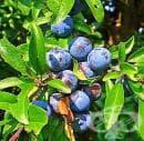 Яжте суровите плодове на трънката само след първата слана