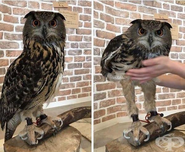 Изглежда, че совите са 60% крака.