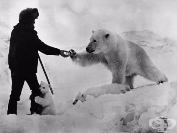 Полярен изследовател, който дава консерва кондензирано мляко на полярна мечка, СССР, 1980г.
