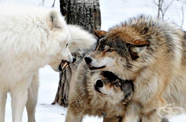 Женският вълк се появява, за да се скрие под мъжкия. В действителност, тя се опитва да прикрие гърлото му от неговия нападател, като се преструва на уплашена.