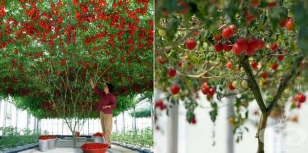 Доматените дървета са качествени, устойчиви на различни заболявания, със силна коренова система и отлични, активно развиващи се листа.